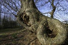 kenmerkende schors van een gesmolten eiken boom royalty-vrije stock foto