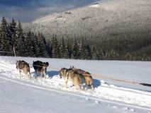 Kennel husk on Snow. Husky - kennel dog, in the snow Stock Images