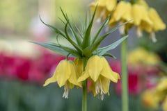 Kennen de kroon Keizerbloemen, ook als Fritillaria-imperialis, Lid van de Leliefamilie royalty-vrije stock foto