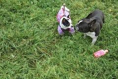 Kennis van twee honden op een de herfstgang stock foto's