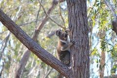 Kenny Koala Stradbroke ö Qld arkivbild