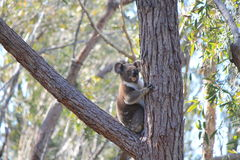 Kenny Koala, Stradbroke Island Qld. Rare to see a Koala posing for you in the wild, he was crossing the road as we approached and he made his way up the gum tree Stock Photography