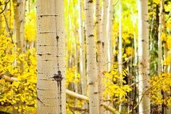 Kenosha Pass Aspen Tree Trunks Stock Photo