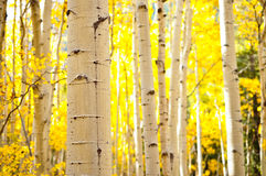 Kenosha Pass Aspen Tree Trunks Stock Images