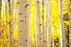 Kenosha Pass Aspen Tree Trunks Stock Images