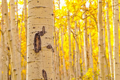 Kenosha Pass Aspen Tree Trunks Royalty Free Stock Photography
