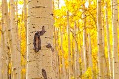 Kenosha Pass Aspen Tree Trunks Royalty Free Stock Photography