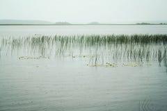 Kenozero sjö med vattenstarrgräset fridsam afton Royaltyfri Foto
