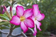 Ökenro av förälskelse, Impalalilja, falsk Azalea, Thailand Arkivfoton
