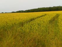 Kent summer. Countryside rural crops in Kent summer Royalty Free Stock Image