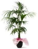 Kentia della pianta ornamentale Immagini Stock Libere da Diritti