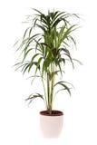 Kentia Palm Tree Stock Photos