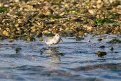 Kentish птица ржанки Стоковое Фото