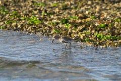 Kentish птица ржанки Стоковые Фотографии RF