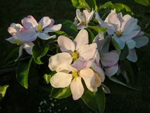 Kentish apple blossom Stock Photography