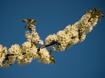 Kentish Cherry Blossom Royalty Free Stock Image