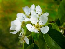 Kentish Pear Blossom Stock Photos