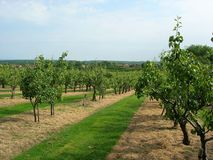 Kentish pear orchard. With oast house in the distance Royalty Free Stock Photos