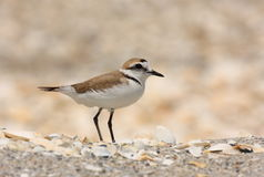 kentish plover Royaltyfria Foton