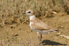 Kentish Plover Royalty Free Stock Photo