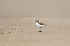 Kentish Plover on a beach Royalty Free Stock Image