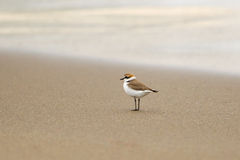 Kentish Plover on a beach Stock Images