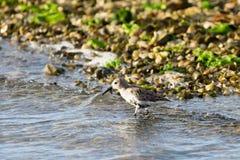 Kentish plover bird Royalty Free Stock Images
