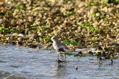 Kentish plover bird Royalty Free Stock Photos