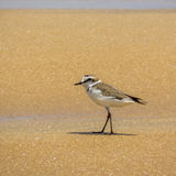 Kentish plover (Charadrius alexandrinus ) on the beach in Arugam Bay Royalty Free Stock Images
