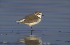 Kentish plover, Charadrius alexandrinus Royalty Free Stock Photography