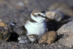 Kentish plover, Charadrius alexandrinus Royalty Free Stock Images
