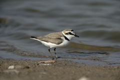 Kentish plover, Charadrius alexandrinus Stock Photos