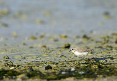 Kentish Plover Royalty Free Stock Images