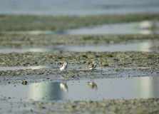 Kentish Plovers Stock Images