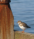 Kentish turnstone bird stock image