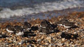 Kentish turnstone birds stock video