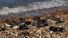 Kentish turnstonevogels stock video
