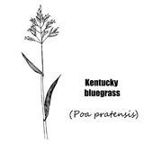 Kentucky bluegrass Royalty Free Stock Image