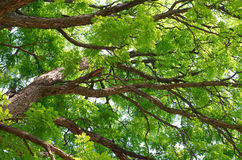 Kentucky Coffeetree Canopy Stock Images