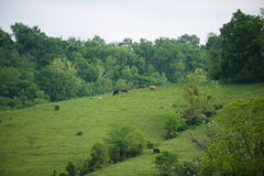 Kentucky Hillside Cows royalty free stock image