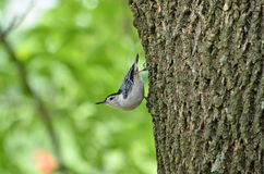 Kentucky nuthatch Stock Images