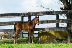 Kentucky Thoroughbred foal in Bluegrass Field Royalty Free Stock Images