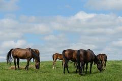 Kentucky Thoroughbred Horse in Bluegrass Field Stock Photo