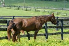 Kentucky Thoroughbred Horse in Bluegrass Field Stock Photos