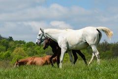 Kentucky Thoroughbred Horse in Bluegrass Field Stock Photography