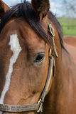 Kentucky Thoroughbred Horse in Bluegrass Field Royalty Free Stock Photo
