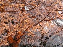 Kenwood Cherry Blossoms no por do sol fotos de stock royalty free