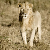 keny lionmara masai Arkivfoto