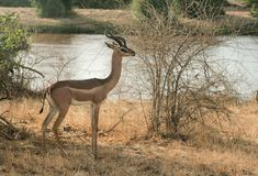 Kenya östliga Tsavo - antilop i deras reserv royaltyfria bilder