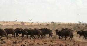Kenya östliga Tsavo - buffel i deras reserv arkivfoton